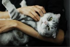 Scottish Fold white and grey with green eys. Old Cats, Cats And Kittens, Munchkin Cat Scottish Fold, Human Poses, Cat Boarding, Beautiful Cats, Beautiful Creatures, Funny Cats, Cat Lovers