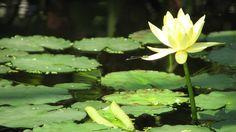 * Ninféia *   (Nymphaea mexicana).