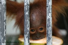 Meet Bulan our latest little female. She was confiscated by BSKDA Kutacane Aceh and brought to SOCP…. Approx 1 1/2yrs old.