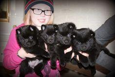 schipperke pups