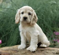 Cocker spaniel puppies: Get yours via Lancaster Puppies. You'll love our cocker spaniels for sale. Find your cocker spaniel puppies for sale here! Cocker Spaniel For Sale, Perro Cocker Spaniel, American Cocker Spaniel, Very Cute Dogs, Cute Little Puppies, Cute Dogs And Puppies, Cute Dogs Breeds, Dog Breeds, Beautiful Dogs