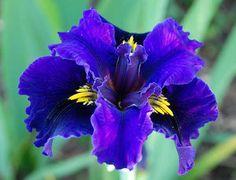 My Favorites: Louisiana Iris - 'Deja Voodoo'