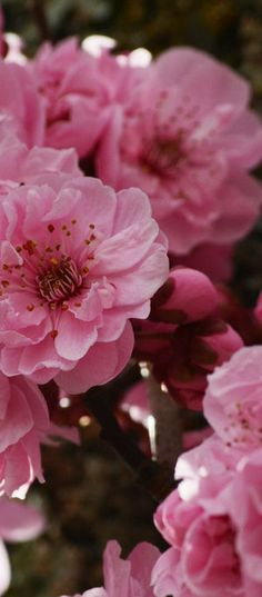 Pink Cherry BlossomsCherry blossom  Symbolizes: -end of difficult period -new beginnings -fragile/short time periods