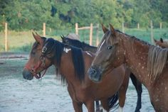 Mill Swamp Indian Horses, love the one with the speckled neck.