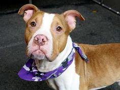 GONE 9-9-2015 --- Manhattan Center ZEUS – A1049694  **SAFER: AVERAGE HOME**  MALE, TAN / WHITE, AM PIT BULL TER MIX, 2 yrs STRAY – STRAY WAIT, NO HOLD Reason STRAY Intake condition EXAM REQ Intake Date 08/29/2015