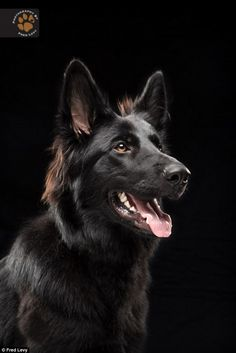 Majestic: Beautiful as this specimen is, it's not hard to see how some could be afraid of a big black dog's appearance