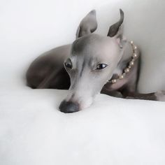 Adorable dog with pearls #italiangreyhound