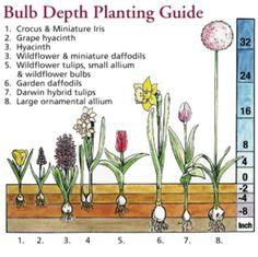Bulb depth planting guide