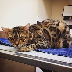 It's not very often that we get the pleasure of seeing exotic cat breeds, so it was especially exciting having Zimba, the Bengal, here! #Bengal #millwoodseastpets #edmontonvet
