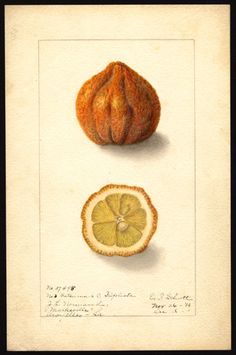 Artist: Schutt, Ellen Isham, 1873-1955  Scientific name: Citroncirus webberi.  Common name:  .citranges  Variety:  No. 3 Satsuma  Geographic origin:  Marksville, Louisiana, United States  Physical description:     1 art original : col. ; 17 x 25 cm.  NAL note:     Changed Aroyelles County to Avoyelles County  Specimen:     37495  Year:     1906  Notes on original:     Citrus hybrid; No. 3 Satsuma x C. trifoliata; Avoyelles [Parish]  Date created:  1906-12-06
