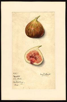 """Artist: Arnold, Mary Daisy, ca. 1873-1955  Scientific name: Ficus  Common name: figs  Variety: Nameless   """"U.S. Department of Agriculture Pomological Watercolor Collection. Rare and Special Collections, National Agricultural Library, Beltsville, MD 20705"""""""