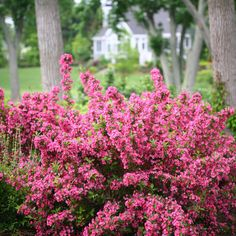 Sonic Bloom™ Pink - Reblooming Weigela - Weigela florida - Hot pink buds open to pink flowers in May. Reblooms until frost without deadheading. Attracts hummingbirds. Deer Resistant.