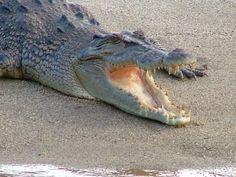 Daintree Crocodile