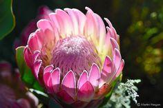 Protea Compacta * Bot River Sugarbush * Beautiful Pink Flowers * 5 Seeds * Amazing Rare * Protea Com Protea Art, Protea Flower, Exotic Plants, Exotic Flowers, Pink Flowers, Beautiful Flowers, Painted Flowers, Flower Names, Flower Art