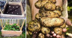 Ako vypestovať až 45 kg zemiakov na 1 m² Pesto, Potatoes, Vegetables, Food, Potato, Essen, Vegetable Recipes, Meals, Yemek