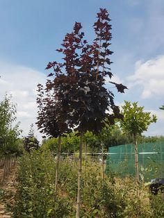 Noorse bolesdoorn - Bomen en planten kopen doe je bij Flowbo.nl
