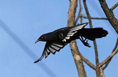 White-winged Chough : Morning flight Adorable Animals, Funny Animals, I Like Birds, Jackdaw, Australian Birds, White Wings, Game Birds, Funny Pets, Exotic Birds