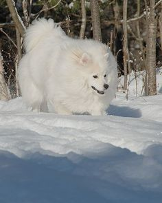 American Eskimo...what a gorgeous creature