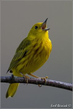 It's Yellow Warbler Day | Flickr - Photo Sharing!