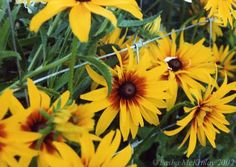 """Yellow Daisies"" - Medford Oregon"