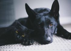 The Brothers of the Night's Watch blackwolfblackpanther Baby Animals, Funny Animals, Animals And Pets, Cute Animals, Black German Shepherd Dog, German Shepherd Puppies, German Shepherds, Beautiful Dogs, Animals Beautiful
