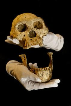 Anthropologists say that a hominid skull unearthed in the Republic of Georgia shows that Homo habilis, Homo erectus, and Homo rudolfensis were all variations of a single species. Biological Anthropology, Early Humans, Human Evolution, Thing 1, Primates, Before Us, National Museum, Science And Nature, Ancient History