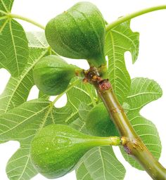 Fig tree - buy a large tree and have it planted 2013 anniversary? Indoor Plants, Garden Plants, Fruit Plants, Fig Tree, Amazing Gardens, Gardening Tips, Plant Leaves, Vegetables, Flowers
