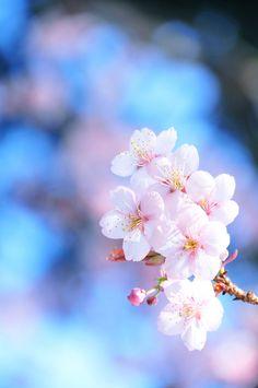 Sakura / When Spring Smiles at You Sakura Wallpaper, Frühling Wallpaper, Cherry Blossom Wallpaper, Spring Wallpaper, Flower Phone Wallpaper, Plum Flowers, Flowers Nature, Beautiful Flowers, Blossom Trees