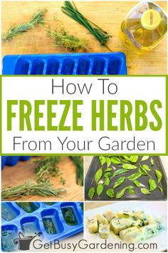 Its super easy to freeze fresh herbs from the garden and doesnt take much time Plus its a money saver during the winter since you wont have to buy them from the grocery s. Freezing Fresh Herbs, Freeze Herbs, Growing Herbs At Home, Herb Garden Design, Garden Ideas, Herbs Garden, Seed Raising, Diy Projects On A Budget