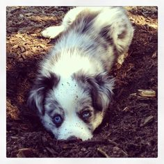 in the mud Australian Shepherd Puppies, Aussie Puppies, Australian Shepherds, Cute Puppies, Cute Dogs, Dogs And Puppies, Cute Baby Animals, Animals And Pets, The Mighty Jungle