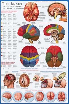 Anatomy of the Brain Neurology Education Poster - A great poster on the anatomy of the human brain! Perfect for classrooms, doctor's offices, and Med Students. Brain Science, Medical Science, Medical Art, Brain Food, Medical School, Brain Poster, Poster Poster, Poster Prints, Art Prints