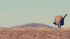 born to run, cheetah, animals, big cats, tiger, desktop backgrounds, running, minimalist photography, cub