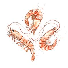 Amy Holliday Illustration : Sealife/Crustaceans Series: Pink Shrimp