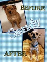 Sandy is an adopted Terrier Dog in Bridgewater, NJ. Sandy - Circus clown or man about town? Turns out Sandy is both! This adorable acrobat (come to the shelter and see for yourself) has spiffed himsel... we had to give my dog away :( someone please adopt him and give him a good home