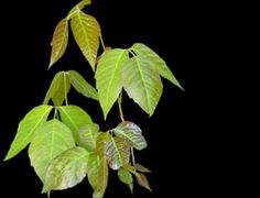 Milk of Magnesia Dries Up Poison Ivy Home Remedy - The People's Pharmacy®