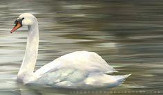 swan paintings | Swan Painting by Cindacry
