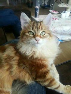 Siberische kat. Lijkt op Lara, mijn Sibeer!