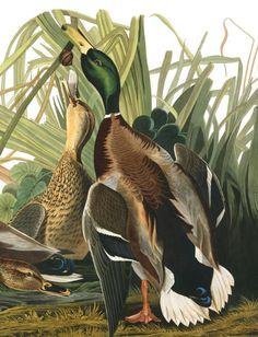 Mallard ducks by James Audubon Audubon Prints, Audubon Birds, Art Canard, Birds Of America, John James Audubon, Bird Illustration, Vintage Birds, Mallard, Fauna