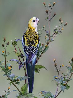 The Pale-headed Rosella (Platycercus adscitus), is a broad-tailed parrot of the genus Platycercus native to northeastern Australia. We have these birds visit our home 💜💜 Pretty Birds, Beautiful Birds, Animals Beautiful, Cute Animals, Funny Animals, Kinds Of Birds, All Birds, Love Birds, Exotic Birds