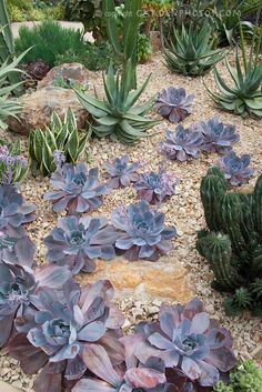 Succulent plant Echeveria 'Afterglow' aka 'After Glow' with mixture of other desert cacti, aloe and agave Echeveria Afterglow, Grape Vine Plant, Planting Succulents, Trees To Plant, Flower Stock Photography, Succulents, Plants, Planting Flowers, Ground Cover