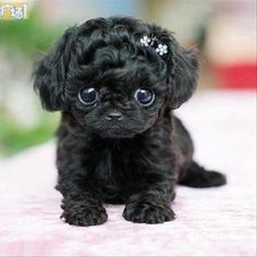 Now I normally don't like little dogs, but this is so freakin cute I can't handle it, I want one!
