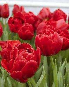 Tulip Abba - Flower Bulbs   DutchGrown®