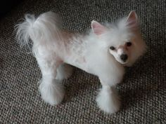 puppy cut on chinese crested powder puff - Google Search