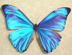 Rare Morpho Aurora Real Blue Framed by REALBUTTERFLYGIFTS on Etsy, $59.99