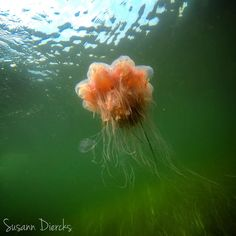 What a cruel beauty  Although I like the 'lion's Mae jellyfish' Cyanea capillata a lot because she looks so beautiful - she can also be a really unkind fellow  This Scyphozoa is the largest known species of jellyfish and can be found in cold boreal waters of the Arctic northern Atlantic and northern Pacific Ocean.  I took this photo during a dive in the Lillebælt - fortunately I did not come in contact with her tentacles  as this can be a quite painful experience.. Although I must admit that…