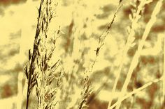 Indian Grass in the Sepia Prairie ~ Photography by Tiwago