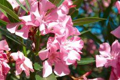 A leander sikeres teleltetésének titka! Bougainvillea, Rose, Flowers, Plants, Pink, Plant, Roses, Royal Icing Flowers, Flower