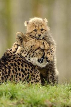 Daww!! Just a Baby Cheetah with her Mother! via reddit