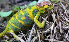 O Furcifer minor é um camaleão endêmico de Madagascar. Enquanto o macho tem um corpo miúdo e cores um tanto sem graça, as fêmeas da espécie se destacam por ser corpulentas e repletas de coloridos padrões