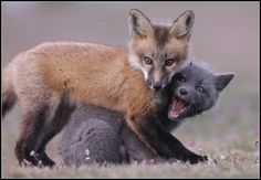 Fox Cute Baby Animals, Animals And Pets, Fennec, Fox Totem, Fantastic Fox, Fox Jewelry, Silver Foxes, Pet Fox, Wild Creatures